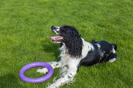 blackly: the dog of breed Cocker Spaniel lies on a green grass, blackly white Cocker Spaniel