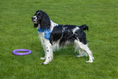 the dog of breed Cocker Spaniel stands on a green grass, blackly white Cocker Spaniel