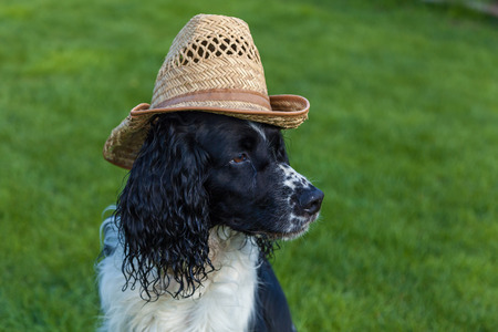 blackly: the dog of breed Cocker Spaniel sits in a straw hat, blackly white Cocker Spaniel