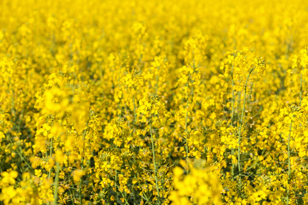 field with the flowering yellow flowers of rape