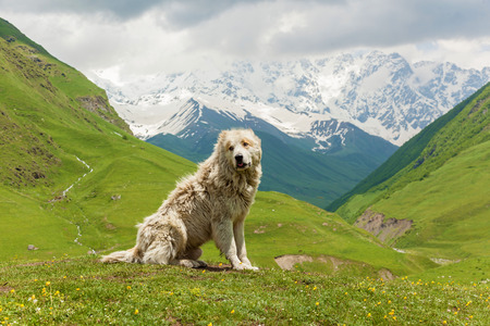 Caucasian sheep dog for the guard of cattle in village Ushguli. Svaneti, Georgia