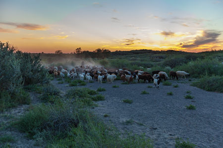 shepherd with herd of sheep at sunset return from the pasture. Kazakhstan