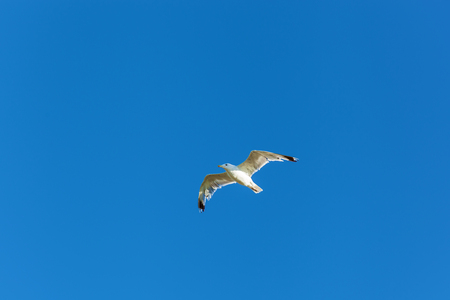 wingspan: white gull hovers in the sky Seagull against a blue sky background