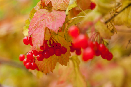 on a bush with yellow leaves red berries of a viburnum with raindrops. Autumn berries. Herbal plant