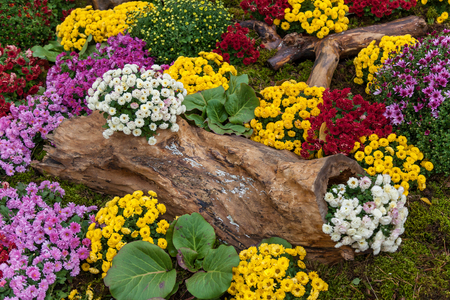 Autumn compositions are made of chrysanthemum, Autumn Chrysanthemum Exhibition in Kiev