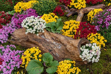 Herfst composities zijn gemaakt van chrysanthemum, Autumn Chrysanthemum Exhibition in Kiev