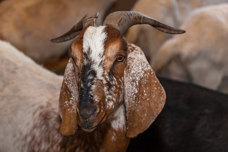 a brown goat with long ears stands in the pen