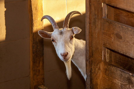 white goat peeks out from behind the fence