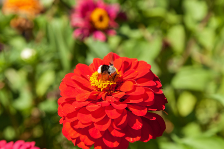 bumblebee collecting pollen from red flower, bumblebee on a flower