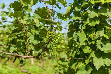 Vineyards of wine area of Georgia Kakheti, Kvareli wineyards close to Caucasus mountain range. Vineyards in the Kakheti region, Georgia, Caucasus