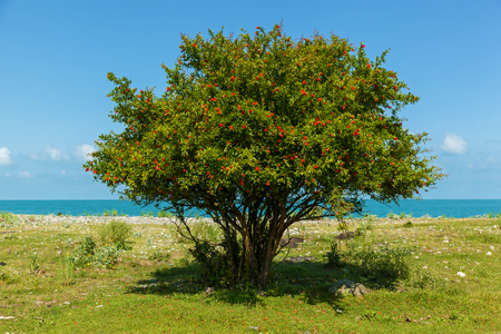 bush with red flowers of pomegranate near the blue sea, bush and flowers of pomegranate 스톡 콘텐츠