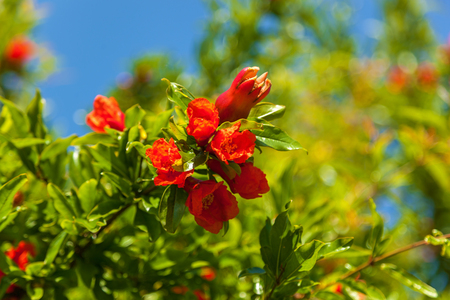 red garnet flowers on a branch, bush and flowers of pomegranate