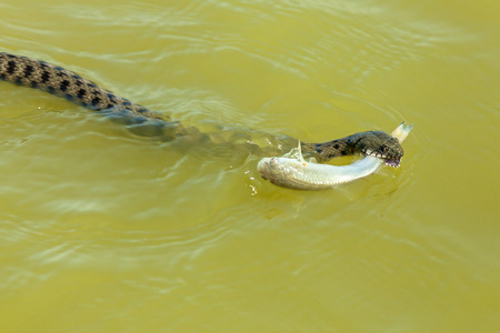 the snake eats fish. The snake hunts fish in the water, the snake catches the fish and wants to eat it Stock Photo