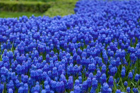 Purple hyacinth in the park of Istanbul. Beautiful violet hyacinth background Фото со стока