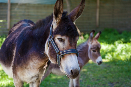 Two donkeys, mother and a cub standing in green surrounding looking at the camera.