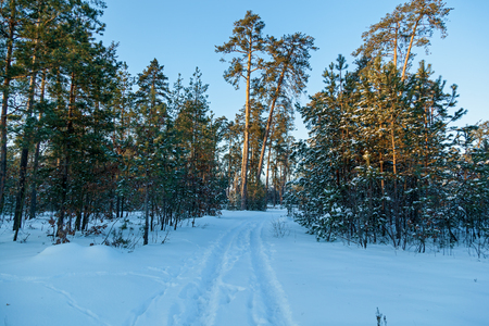 The road in the winter forest with high pines, snowy trees. Winter fairy forest covered with snow