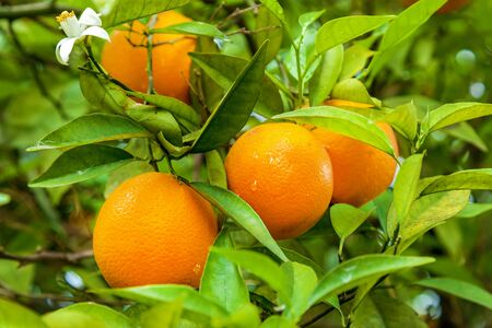 Orange garden with rows of orange trees, harvest of sweet juicy oranges 免版税图像 - 127293786