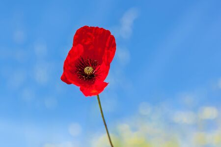 Red poppies in the green grass against the blue sky. Stok Fotoğraf