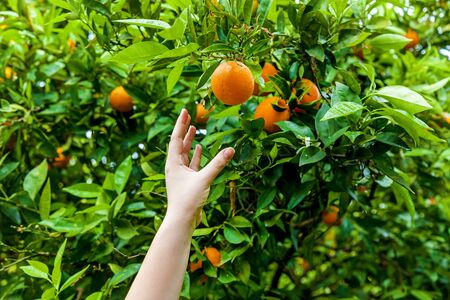 Orange garden with rows of orange trees, harvest of sweet juicy oranges