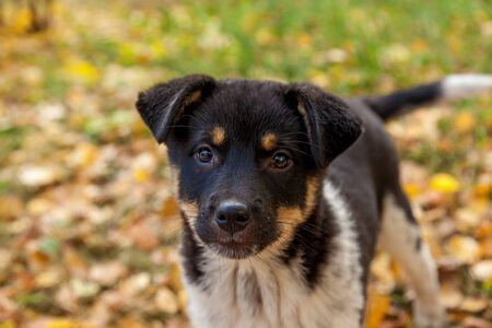 Cute homeless puppy playing in the yellow leaves