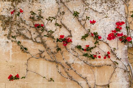 Close-up view of small red flowers on the old wall of the building with cracks.