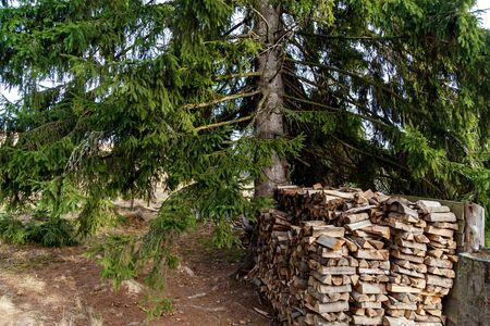 There are a lot of logs in the forest located near a big fir. Stock fotó