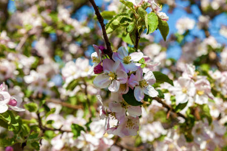 Apple blossom in spring. Blossom apple over nature background, spring flowers