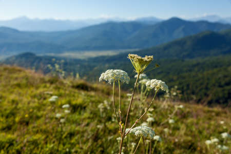 Close-up of white and green hogweed growing in the meadow against the background of beautiful mountains in Adygea Stock fotó