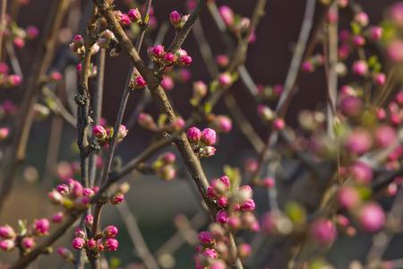 almond bud: Japanese decorative almonds buds Stock Photo