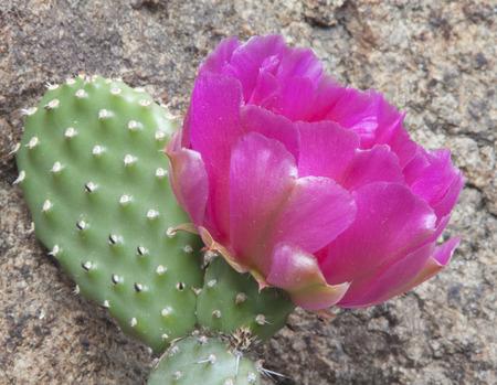 crevice: Large amazing pink cactus flower growing in a crevice of the stone. Cactus growing in the open field at the latitude of Kiev, Ukraine.