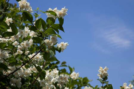 philadelphus: White jasmine philadelphus flowers in sunlight on background of blue sky and high clouds.