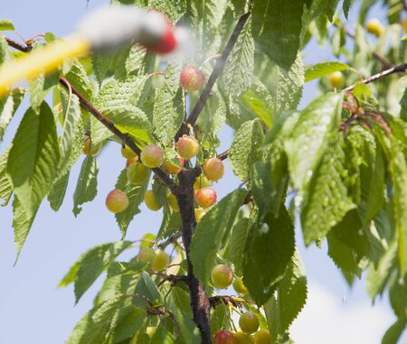 splutter: Device of spraying pesticide sprinkle liquid to unripe berries cherries from red nozzle. Stock Photo