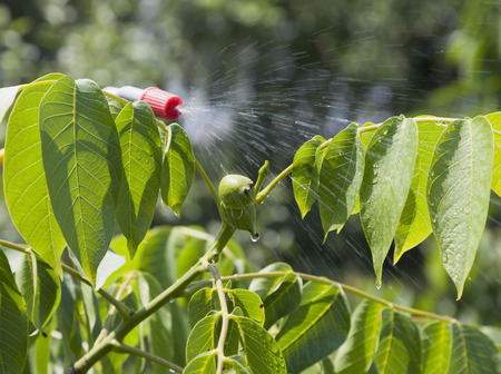 farme: Device of spraying pesticide sprinkle liquid to unripe berries walnut from red nozzle.