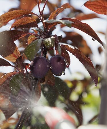 farme: Device of spraying pesticide sprinkle liquid to unripe berries red plum from red nozzle.