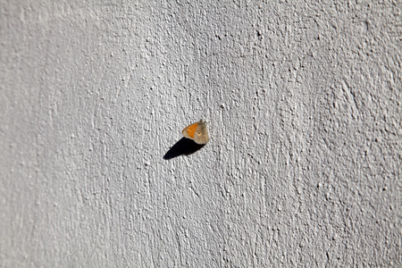 pearly: Butterfly Pearly Heath (Coenonympha arcania) on the wall of a summer evening.