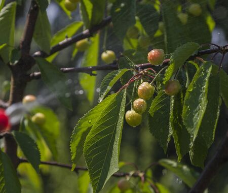 farme: Unripe berries cherries in the center with clear drops of water from Device of spraying pesticide. Stock Photo