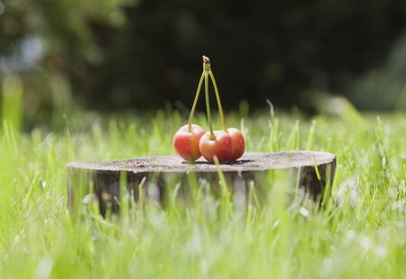 Very bright yellow and pink cherries on a wooden stand, surrounded by a very bright light green grass. Stock Photo