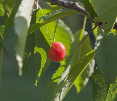 farme: Very bright red close-up cherry surrounded green leaves.