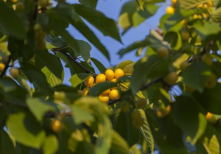 farme: Bright yellow cherries close-up on blue sky background in light of sunset.