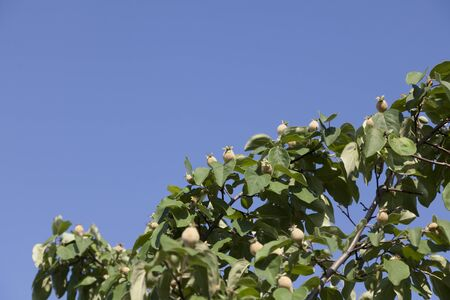 Bright quince and green leaves at blue sky background.