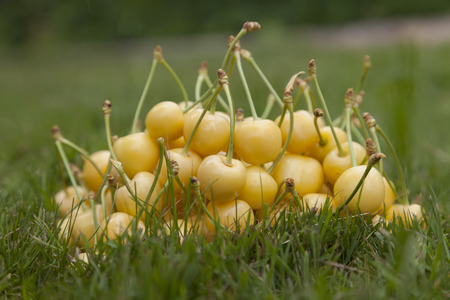 farme: Bright yellow cherries close-up on green grass.