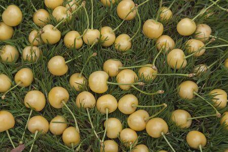 Bright yellow cherries close-up on green grass.