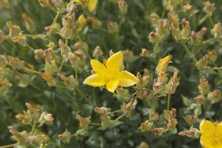 ovarios: Flor amarilla sobre un fondo de las semillas ovarios