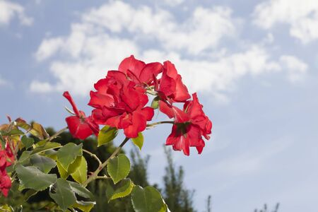 Very bright red rose and green leaves on blue sky background in the summer.