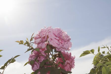 Very bright rose and green leaves on blue sky background in the summer. Stock Photo