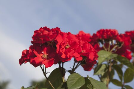 Very bright red roses and green leaves on blue sky background in the summer. Stock Photo