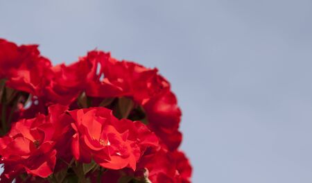 farme: Very bright red roses on blue sky background in the summer.