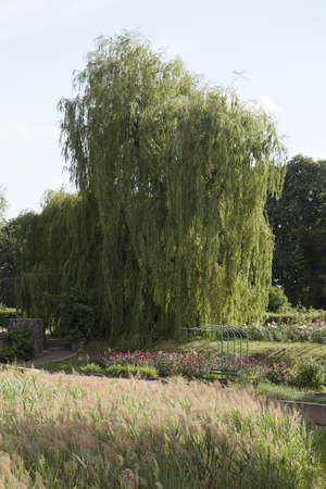 bulrush: The large willow tree, rose and bulrush in park Stock Photo