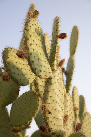opuntia: Cactus opuntia fruits on a background of blue sky. The sun is close to the sunset.