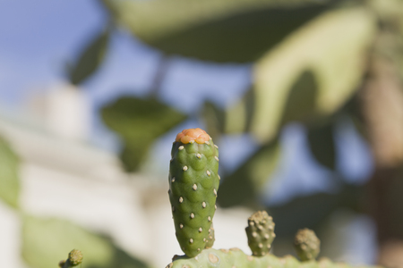 sensational: Cactus opuntia flowers on a background of blue sky. Kind of tree without thorns and small red bud flowers.